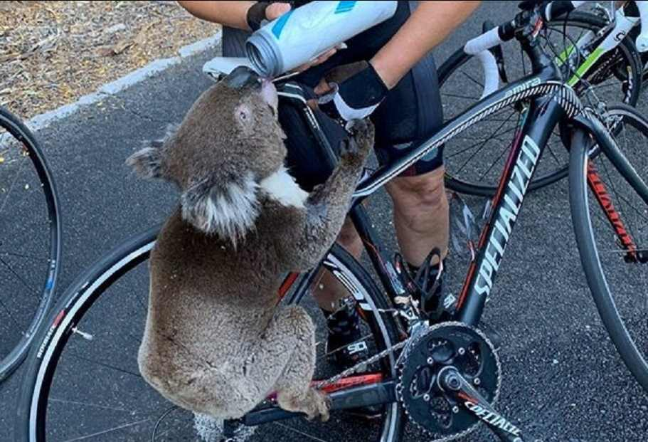 Koala desesperado por la sed para a ciclista para pedir agua