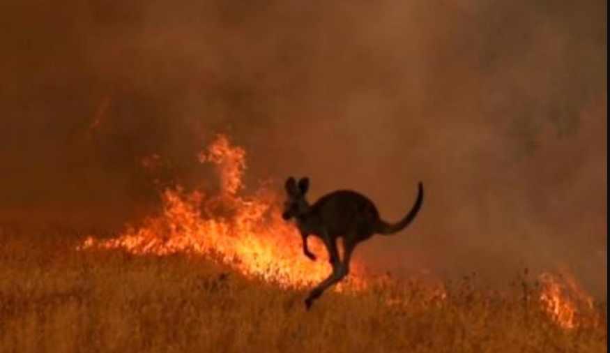 Suman Casi 500 millones de animales muertos por incendios en Australia (fotos)