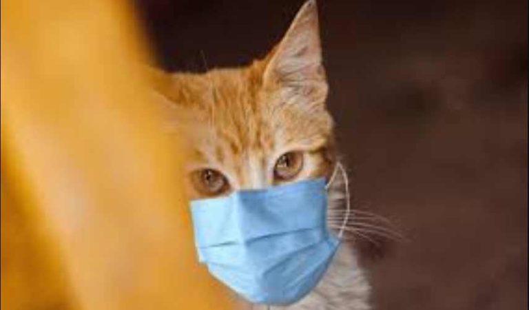 Hombre infecta a su gato de coronavirus; se encuentran aislados