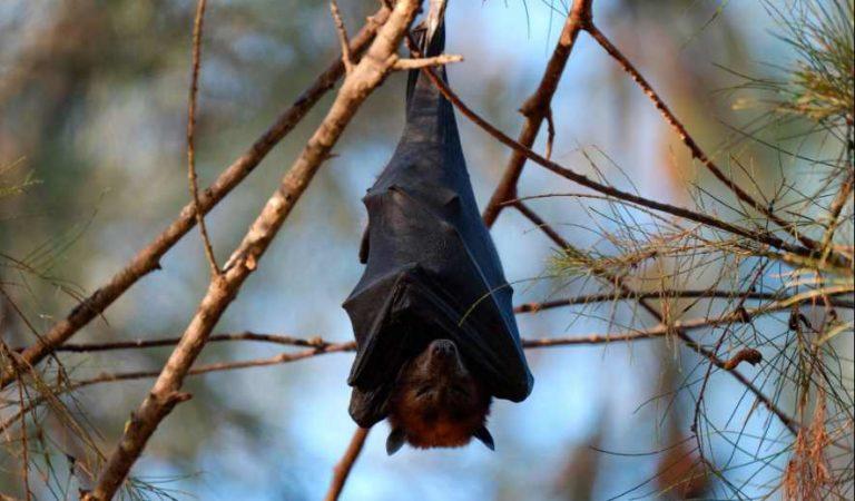 Pobladores prenden fuego a murciélagos por miedo al coronavirus