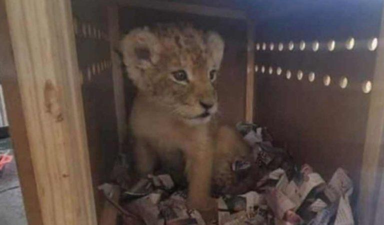 GN rescata a cachorro de león africano en aeropuerto de Oaxaca
