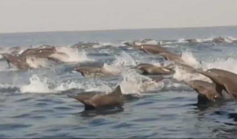 Captan a cientos de delfines en las costas de Oaxaca ante cuarentena