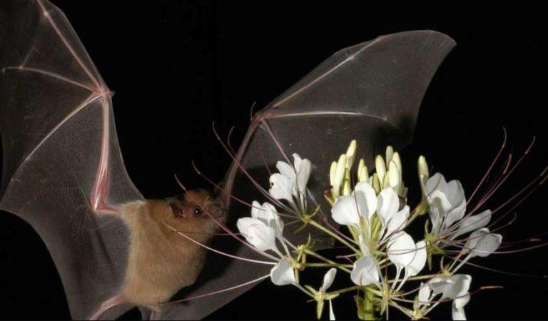 Persecución contra murciélagos, afecta producción de tequila en Jalisco