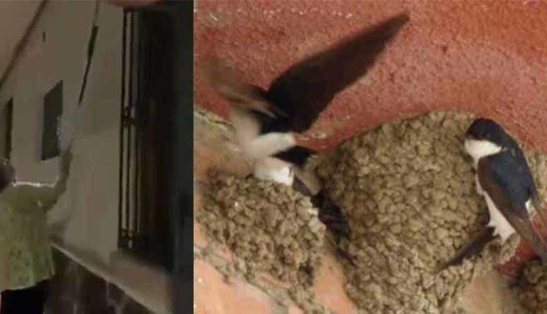 Sin remordimiento destroza a escobazos medio centenar de nidos de golondrinas con  crías recién nacidas (video)
