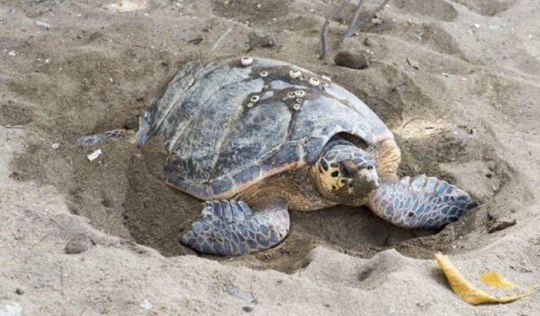 Muere bebé tras ingerir sangre de tortuga para 'protegerse' del Covid-19, por recomendación de brujo