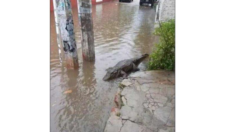 La tormenta 'Cristóbal' hizo que cocodrilos salieran a pasear tranquilamente por las calles en Campeche