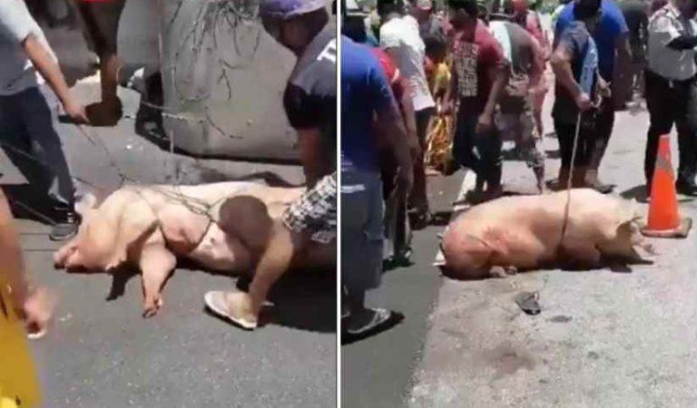 Vuelca tráiler con cerdos y pobladores aprovechan para cometer rapiña en Campeche (VIDEO)