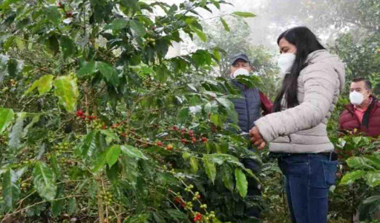 Reconocimiento mundial para pequeños productores de café de Oaxaca, Chiapas y Guerrero